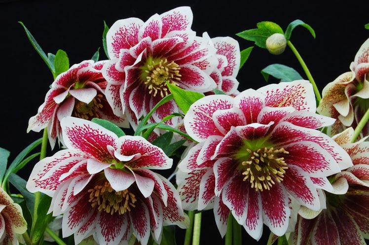 012921 Hellebores Flower 6