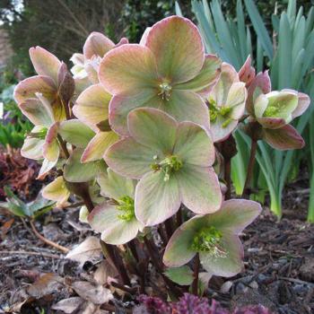 Helleborus Ivory Prince - Woodies Garden Goods